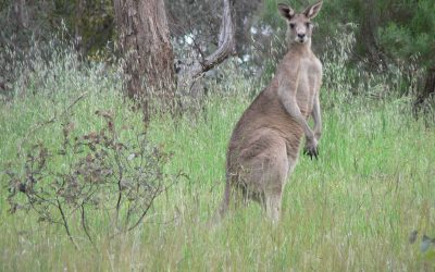 Proposed kangaroo management changes