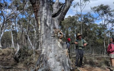 Mature Native Trees: Pillars of Biodiversity